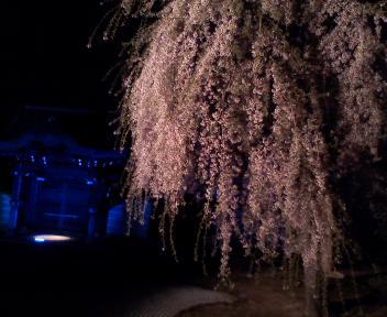 残る桜 散る桜